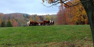 在秋天的母牛 免版税库存图片