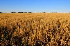 在秋天的燕麦领域 免版税库存照片