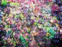 在秋天的狂放的葡萄 免版税库存图片
