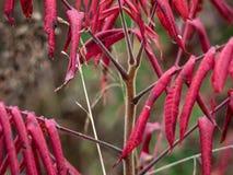 在秋天的秋天红色黄栌树 免版税库存照片