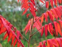 在秋天的秋天红色黄栌树 免版税库存图片