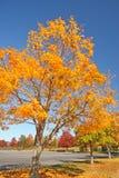 在秋天的糖槭树 免版税库存照片