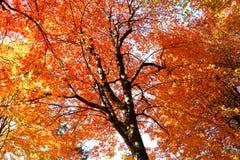 在秋天的红色叶子在加拿大 免版税库存照片