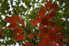 在秋天的红色叶子 免版税图库摄影