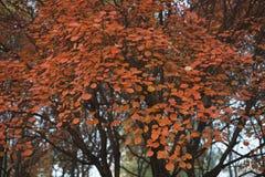 在秋天的红色叶子 库存照片