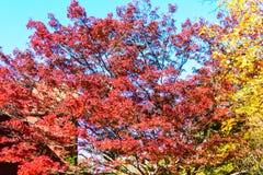 在秋天的红色和黄色树 免版税库存照片