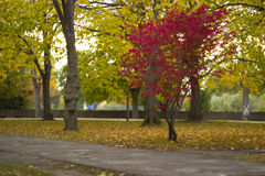 在秋天的红色树 免版税库存照片