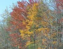 在秋天的缅因叶子 库存图片