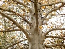 在秋天的美国梧桐树 免版税库存照片