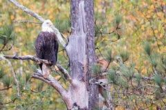 在秋天的美国老鹰 免版税库存照片