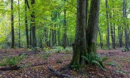 在秋天的老角树树 免版税库存图片