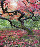 在秋天的老鸡爪枫树 免版税图库摄影