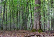 在秋天的老椴树 库存照片