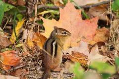 在秋天的花栗鼠 免版税库存照片