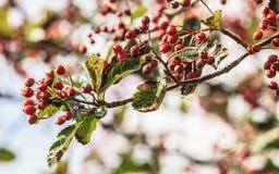 在秋天的花楸浆果在自然设置 免版税库存照片