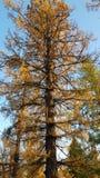 在秋天的落叶松属 免版税库存图片