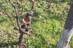 在秋天的葡萄树在葡萄采摘以后 留下红色 免版税库存图片