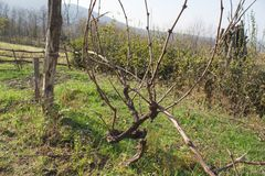在秋天的葡萄树在葡萄采摘以后 种田自然 免版税库存图片