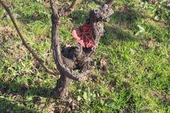 在秋天的葡萄树在葡萄采摘以后 绿草 免版税库存照片