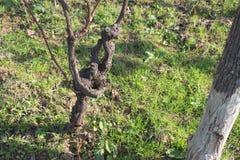 在秋天的葡萄树在葡萄采摘以后 绿草 免版税库存图片
