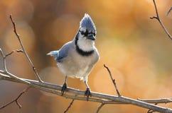 在秋天的蓝色尖嘴鸟 免版税库存照片
