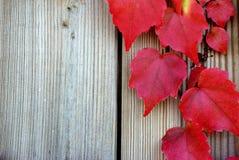 在秋天的藤叶子 库存照片