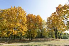 在秋天的被染黄的槭树 图库摄影