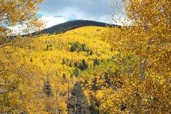 在秋天的金黄白杨木在新墨西哥山 免版税库存照片