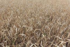 在秋天的金黄麦田 免版税库存图片