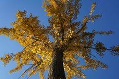 在秋天的银杏树叶子 免版税库存照片