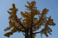 在秋天的银杏树叶子 免版税图库摄影