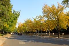 在秋天的银杏树结构树在瓷的一个学院校园里 库存照片