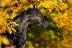 在秋天的马 库存照片