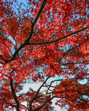 在秋天的鸡爪枫 图库摄影