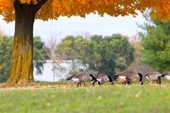 在秋天的鹅 免版税库存图片