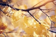在秋天的黄色金子叶子 图库摄影