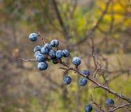 在秋天的黑刺李莓果 免版税图库摄影