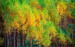 在秋天的年轻桦树 免版税库存照片