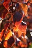 在秋天的洋梨树叶子 库存图片