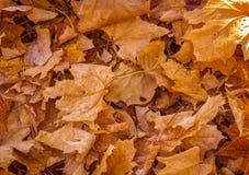 在秋天的死的叶子 免版税库存照片