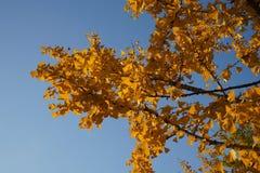 在秋天的Ginko树 免版税库存图片