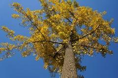 在秋天的Ginko树 免版税库存照片