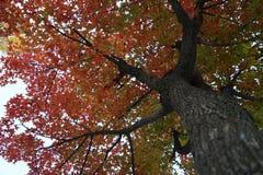 在秋天的Ginko树 库存照片