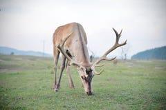 在秋天秋天的庄严马鹿雄鹿 免版税图库摄影