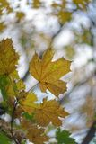 在秋天秋天的枫叶 库存照片