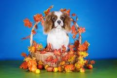 在秋天篮子的小狗骑士国王查尔斯狗在蓝色iso 图库摄影