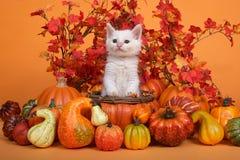 在秋天篮子,叶子背景,南瓜的白色小猫 免版税图库摄影
