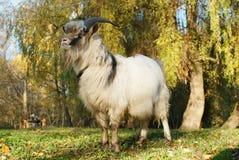 在秋天绿色草甸吃草的灰色山羊 免版税库存图片