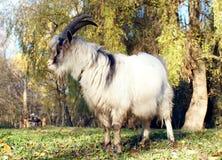 在秋天绿色草甸吃草的灰色山羊 免版税库存照片