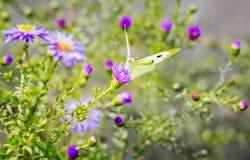 在秋天翠菊的白色蝴蝶 免版税图库摄影